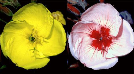 La luz ultravioleta (derecha), invisible para nosotros sin el uso de cámaras especiales, revela colores y patrones en las flores, que hace que insectos como las abejas encuentren la zona donde se encuentran el polen y el néctar (Crédito: http://teslablog.iaa.es).